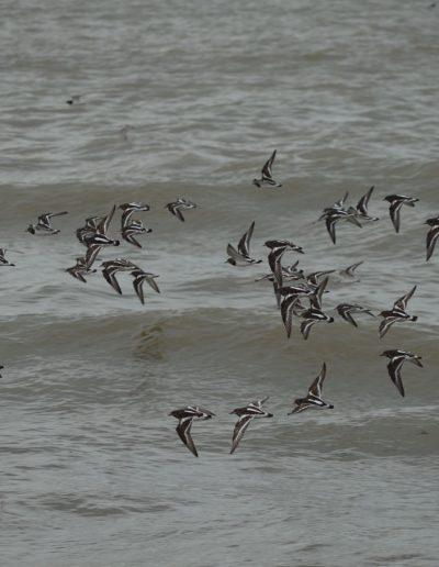 Le peuple migrateur de la Baie de Bourgneuf