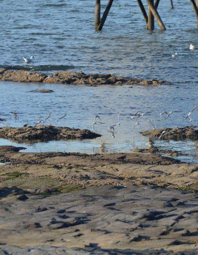 Le peuple migrateur de l'estuaire de loire